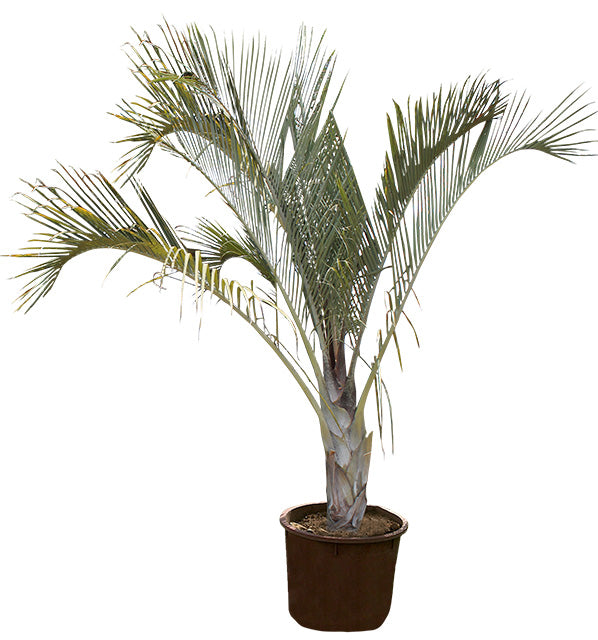 Palmera Triangular