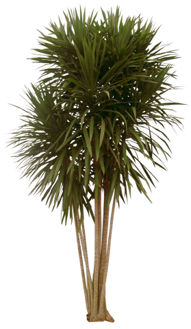 Dracaena 'Tarzan' - Tree form