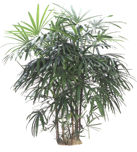 Rhapis Palm Tree