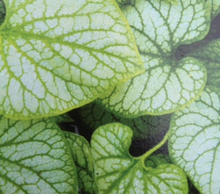 Brunnera macrophylla 'Jacks Gold'