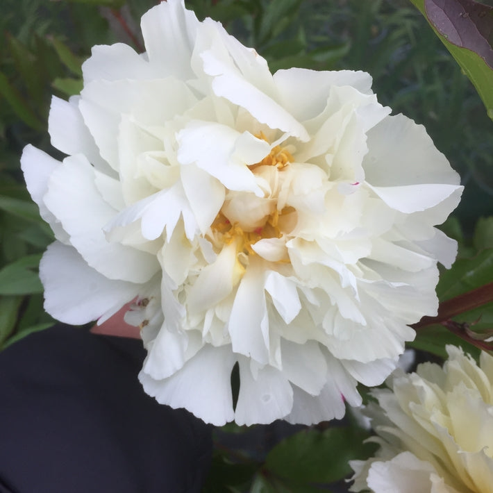Paeonia lactiflora 'Kelways Glorious'