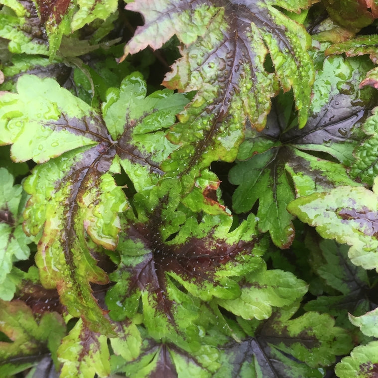Tiarella 'Sugar and Spice' (PBR)