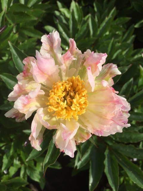 Paeonia lactiflora 'Golden Fleece'