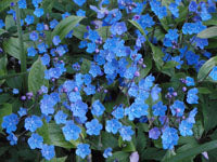 Omphalodes cappadocica 'Cherry Ingram' AGM
