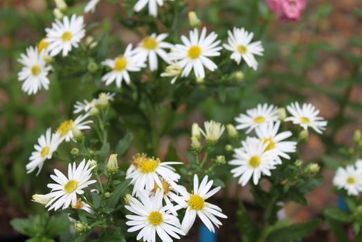 Aster ageratoides 'White Form'