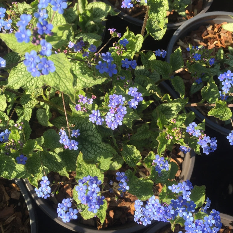 Brunnera 'Alexanders Great'