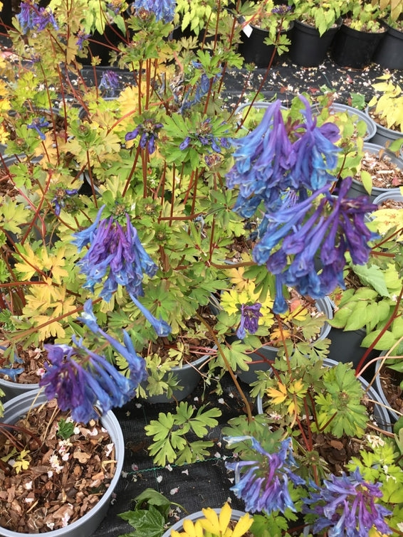 Corydalis elata 'Golden Spinners'