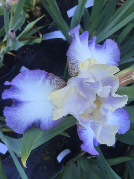 Iris  'Foggy Dew'