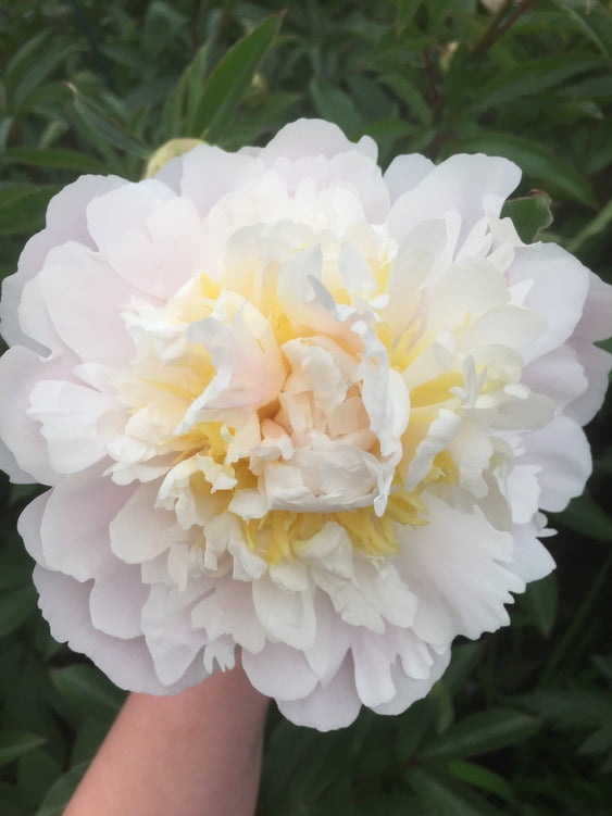 Paeonia lactiflora 'Cheddar Cheese'