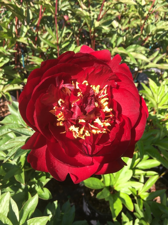 Paeonia 'Chocolate Soldier'