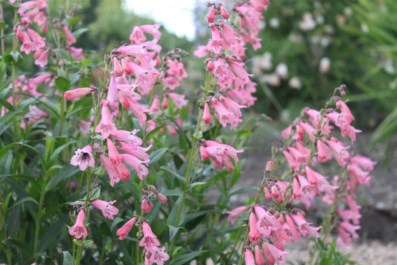 Penstemon 'Hewell Pink Bedder' AGM