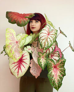 Caladium Collection: Kulturrekord