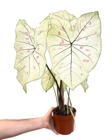 Caladium Strawberrystar
