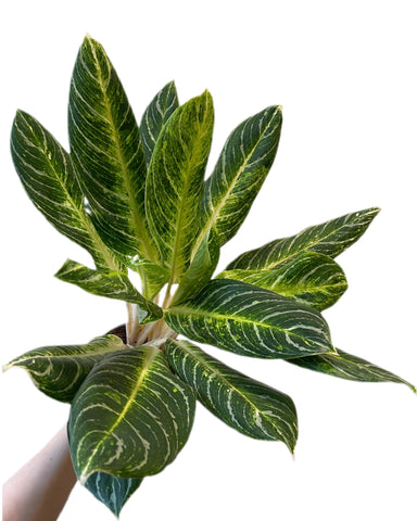 Aglaonema Key Line