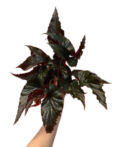 Begonia Black Magic