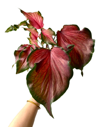 Caladium Red Frill