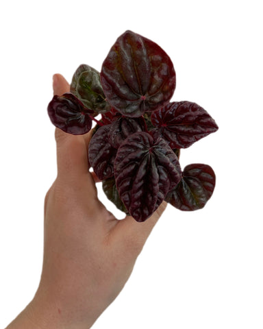 Peperomia Red Luna