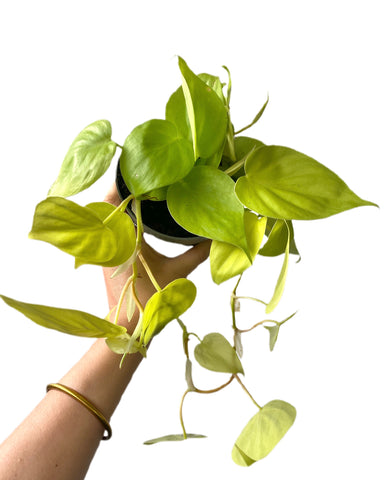 Philodendron Micans Lime