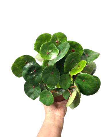 Begonia Red Ruby