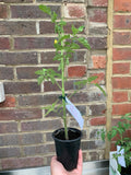 Tomato Plants - various types