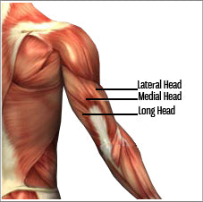 Arm workouts and triceps anatomy