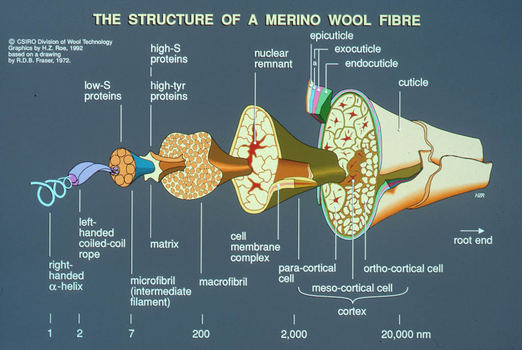 Wool fibre in exploded view