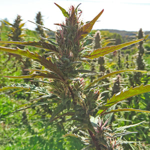 Hemp plant in fields with hemp plants in background shot is centered on colas of Cucumber Diesel variety of Meristem Farms in Northern Vermont