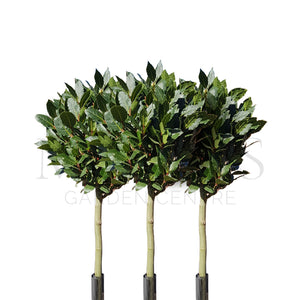 Bay Tree Laurus Nobilis