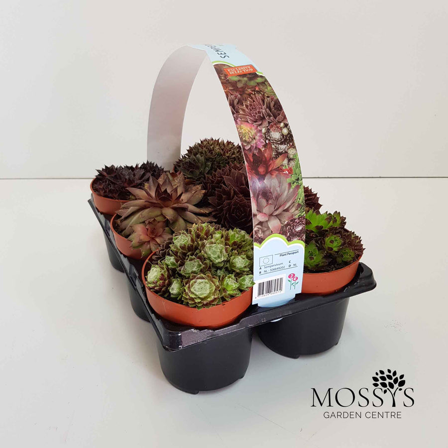 Sempervivum 6 Pack