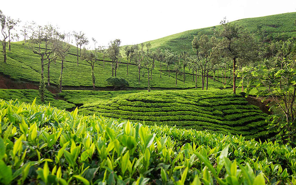 Golden Tips Tea sets an example in buying Avataa Green Tea at record high price