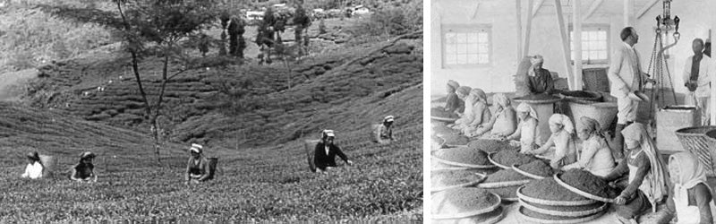 history of darjeeling tea