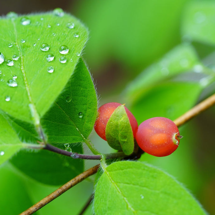 What are the benefits of Schisandra in ODNOVA GLO?