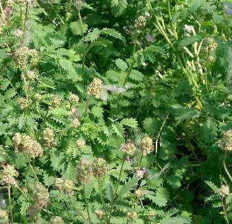 Pimpinella Officinalis