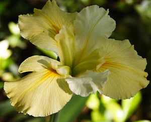 "Iris Louisiana ""Acadian Miss"""