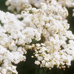 "Filipendula Vulgaris ""Plena"""