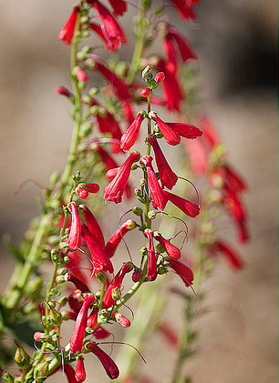 Penstemon Barbatus
