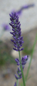 "Lavandula Intermedia ""Dutch"""