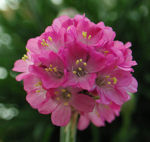"Armeria Formosa ""Glory of Holland"""