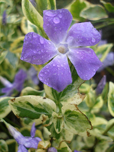 Vinca Major Aureovariegata