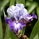 "Iris Barbata Intermedia ""Sailor"""