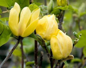 "Magnolia Brooklynensis ""Yellow Bird"""