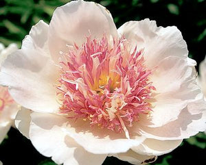 "Paeonia Lactiflora ""Do Tell"""