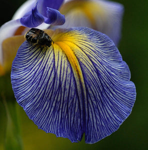"Iris Spuria ""Looking Glass Eyes"""