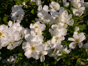 "Exochorda Macrantha ""The Bride"""