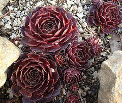 "Sempervivum ""Commander Hay"""