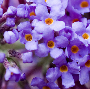"Buddleia Davidii  ""Empire Blue"""