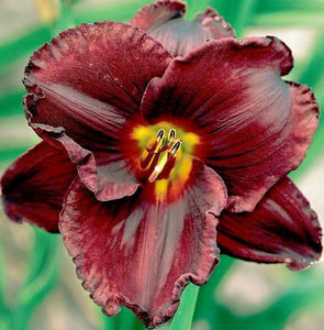 "Hemerocallis ""Night Symphony"""