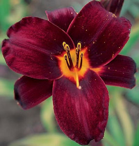 "Hemerocallis ""Root Beer"""