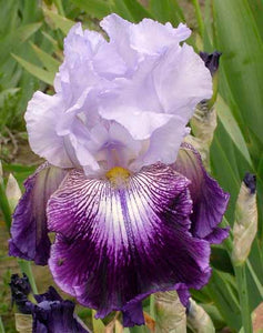 "Iris Barbata Alta ""Total Obsession"" in vaso"