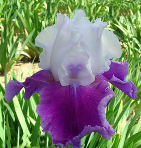 "Iris Barbata Alta ""Gay Parasol"" in vaso"